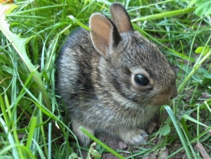 Generic picture of a baby rabbit, in case you also live in a bag and need reference.